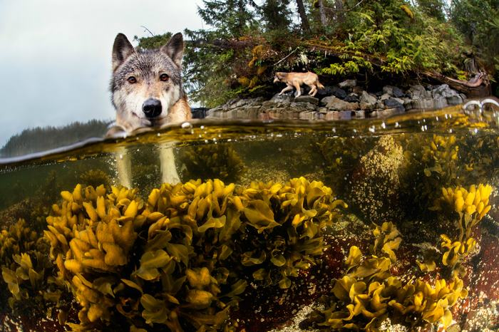 swimming-sea-wolves-pacific-coast-canada-ian-mcallister-3