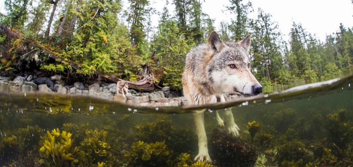 swimming-sea-wolves-pacific-coast-canada-ian-mcallister-4