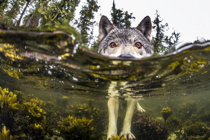 swimming-sea-wolves-pacific-coast-canada-ian-mcallister-5