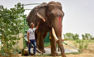 Elephant, Who Was Abused For 50 Years And Lived In Chains, Is Finally Freed By Wildlife Sos