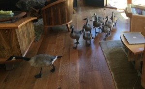 The Geese Just Took A Home Tour At My Parent's House