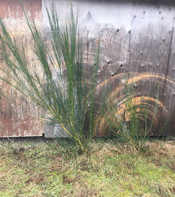 The Wind Has Blown These Plants Back And Forth So Much That It Has Worn The Wood Down
