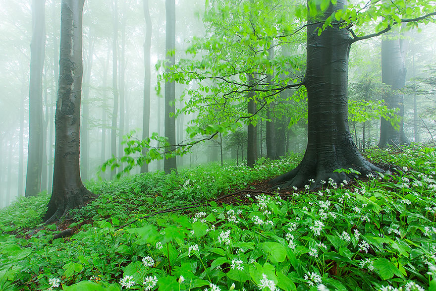 Carpathian Beech Forest