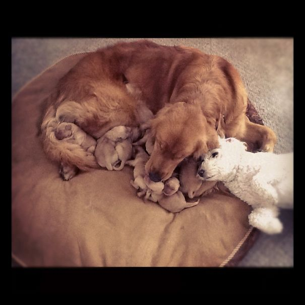 1 Day Old Puppies With Mom And The Most Proud Uncle