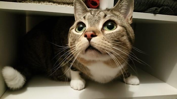17 Lb Cat In A Shoe Shelf