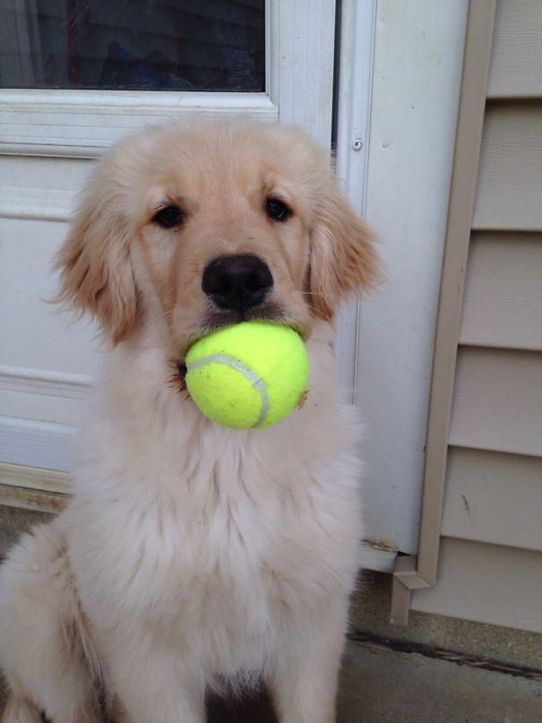 My Golden Retriever Puppy, Ellie