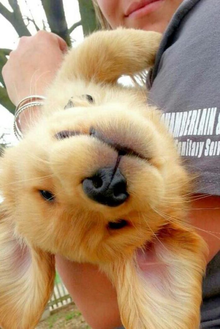 My Cousin's Golden Retriever Puppy, Dusty