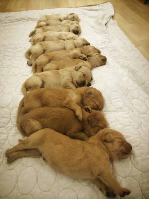 11 Two Week Old Golden Retrievers