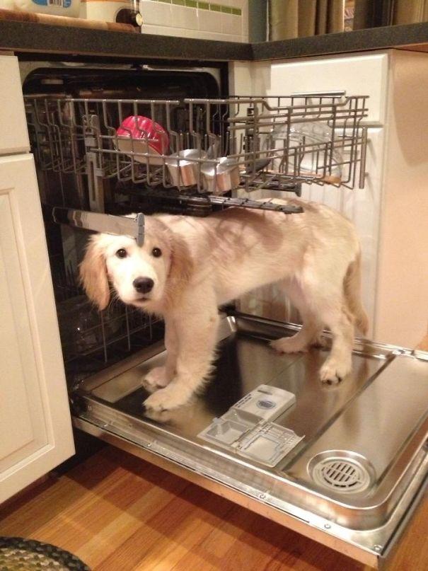 Cousin's Golden Retriever Loves The Dishwasher