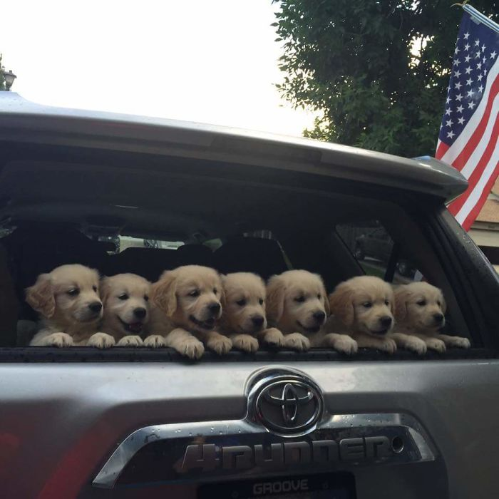 My Friends Golden Just Had Puppies
