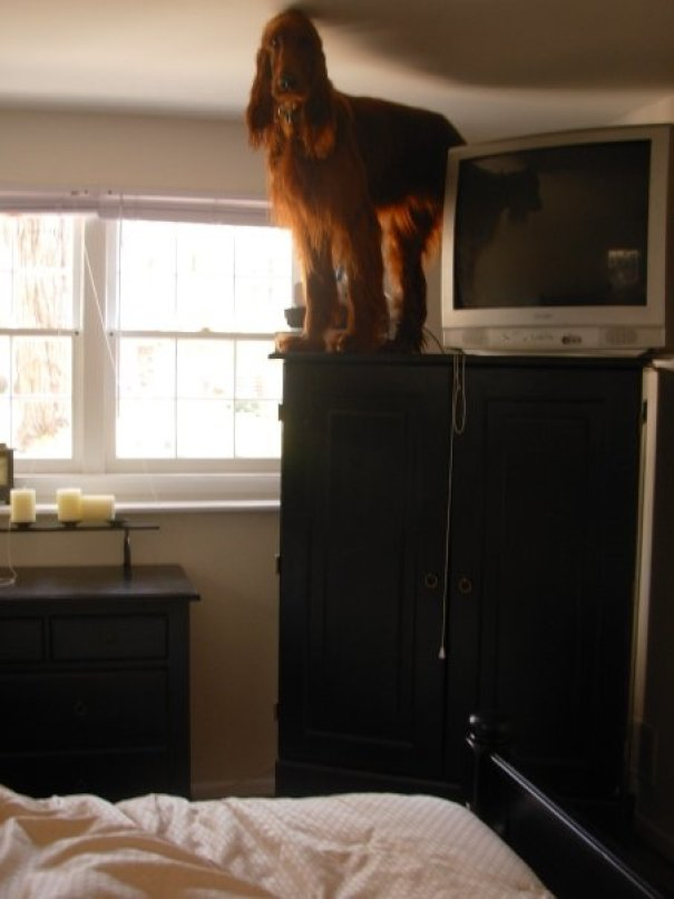Woke Up In The Morning To Find My 80 Pound Irish Setter On Top Of My 5 Foot Armoire. I Have No Idea How Long He Was Up There