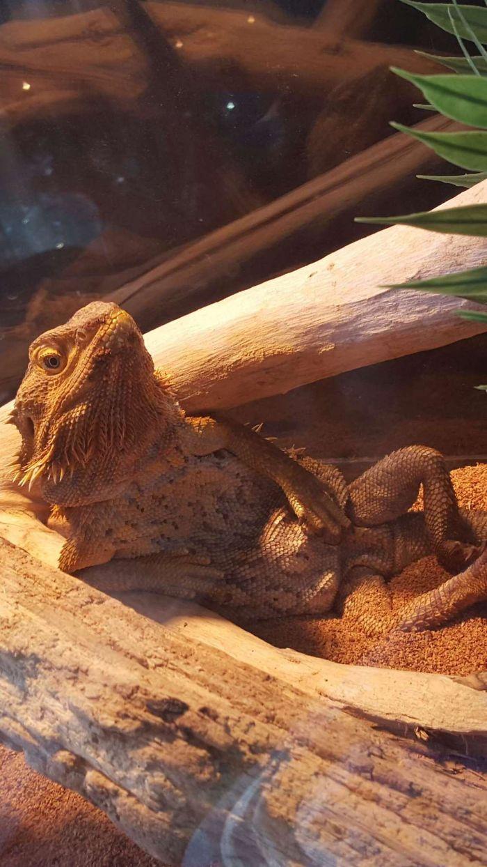 Me desperté y mi lagarto me miraba así
