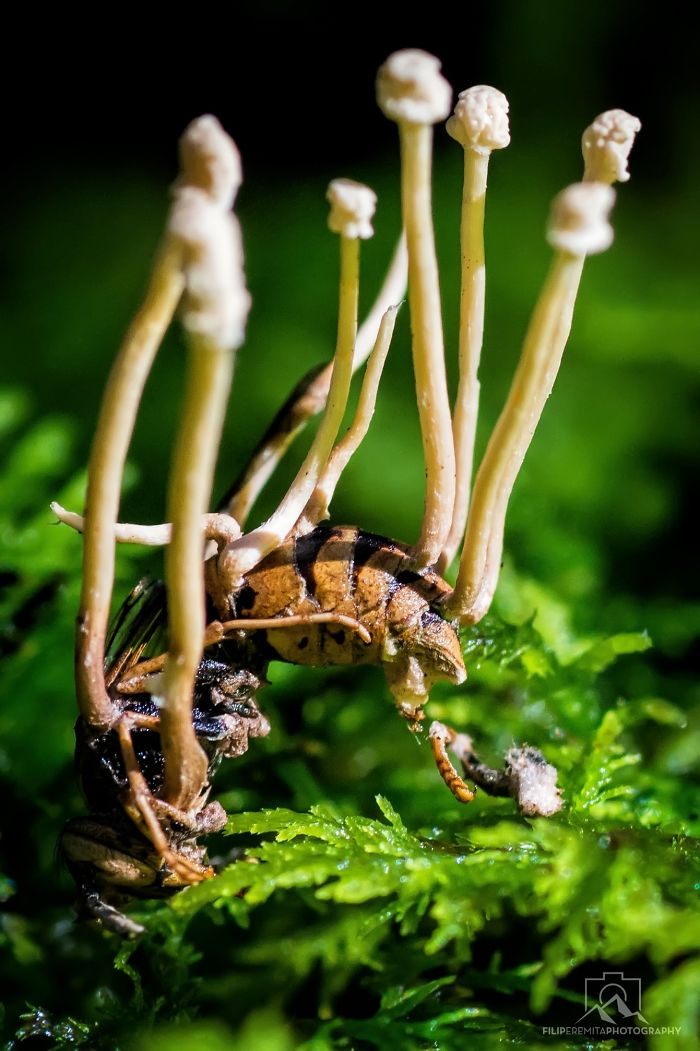 Amazing Parasitic Fungi Found Growing On A Wasp In Slovenian Forests