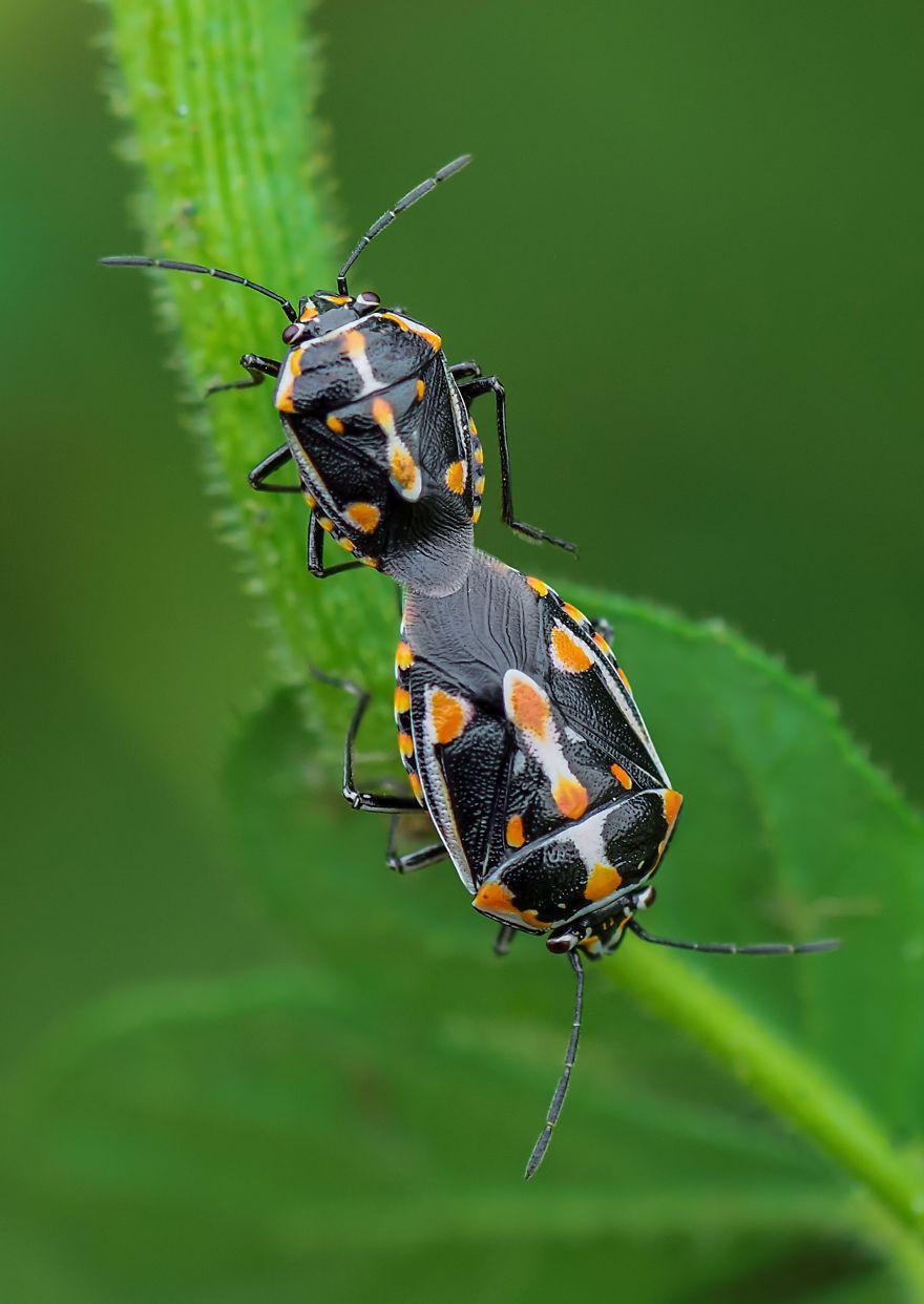 Bagrada Bugs Mating