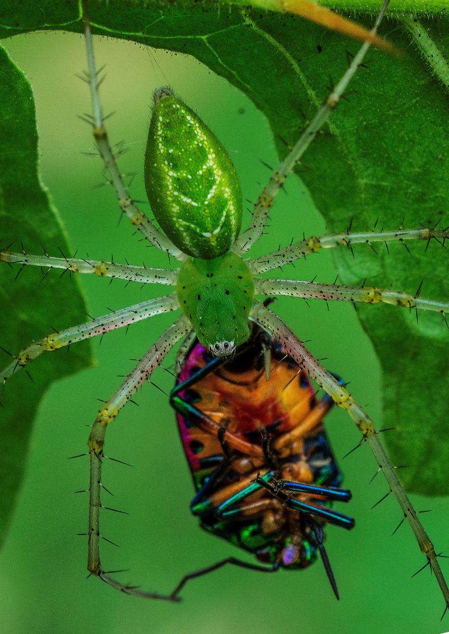 Green Lynx Spider Feeding On Jewel Bug