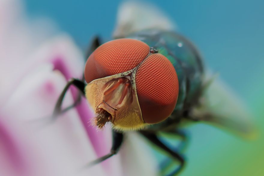 The Compound Eye Of A Green Bottle Fly
