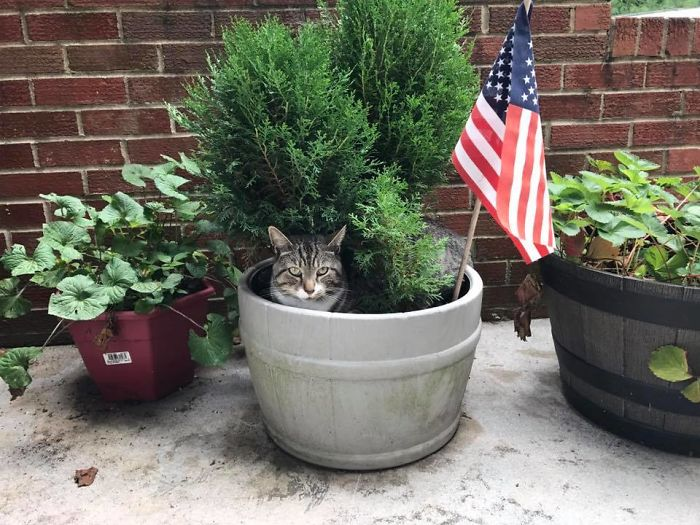 Patriotic Pot Cat. Only In Usa - We Grow Our Own!
