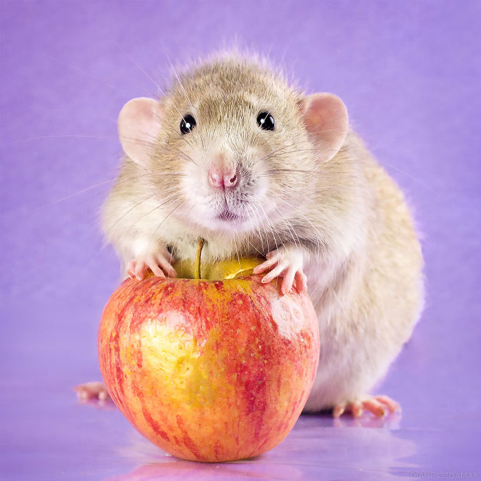 My Apple, Not Yours! (Lysander)