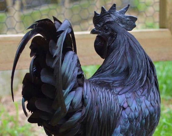 Melanistic-Chicken-595d889f93028.jpg