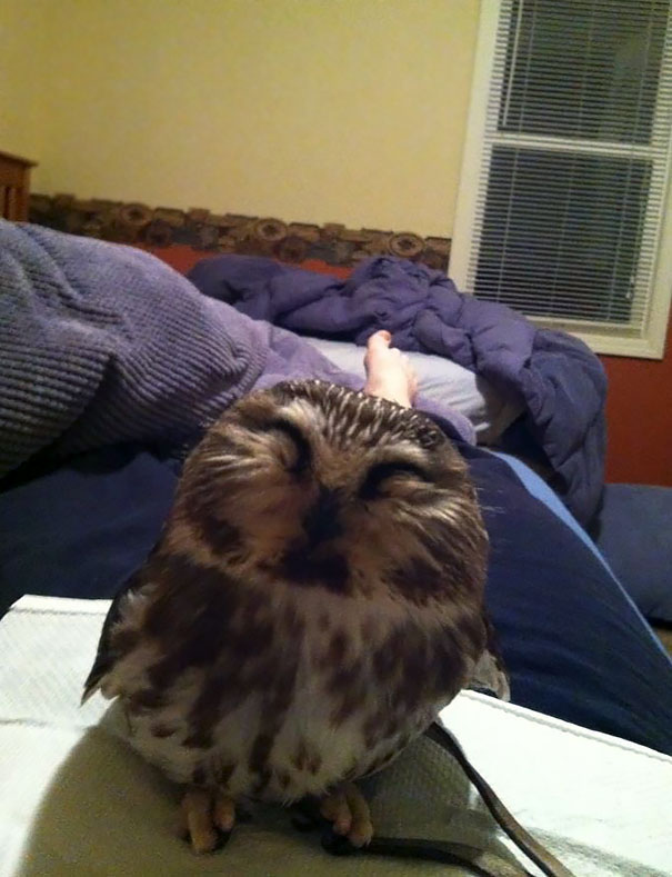 My Friend Works At A Bird Of Prey Rehabilitation Center. This Morning She Woke Up With This Cutie On Her Chest