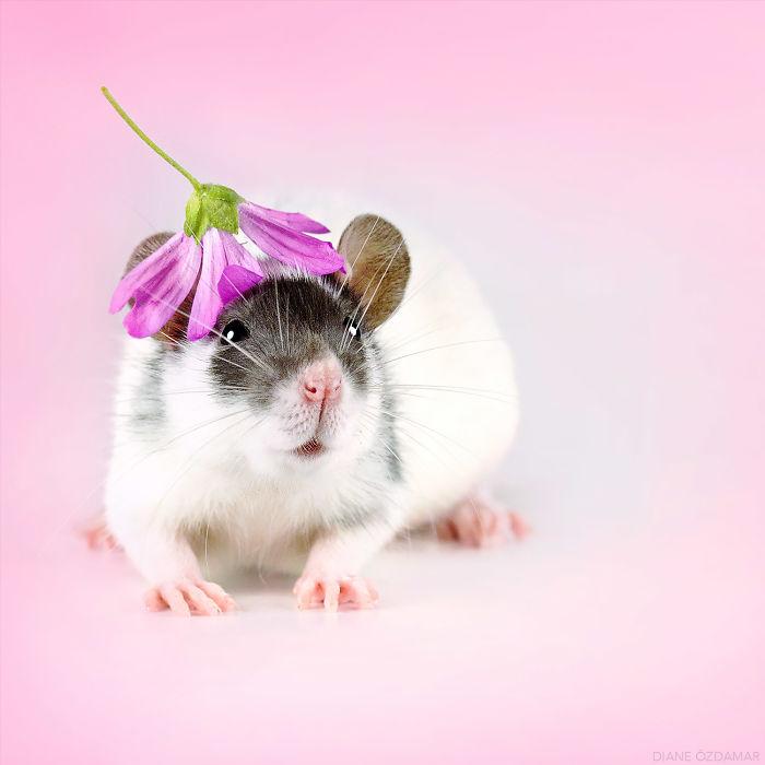 Fancy Hat For A Fancy Rat (Roll The Dice)