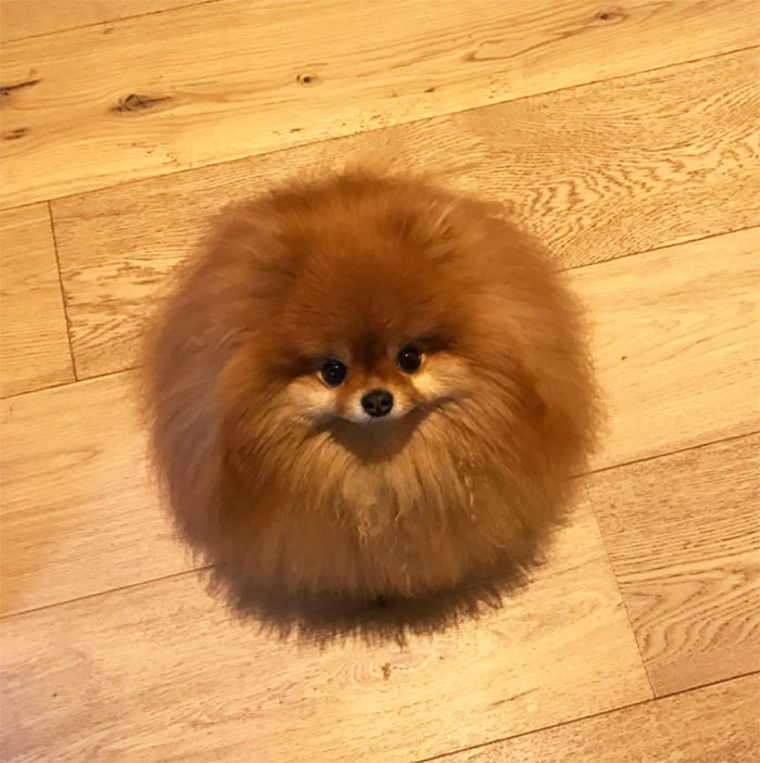 panda pomeranian did you know that pomeranians melt in water this owner 5900