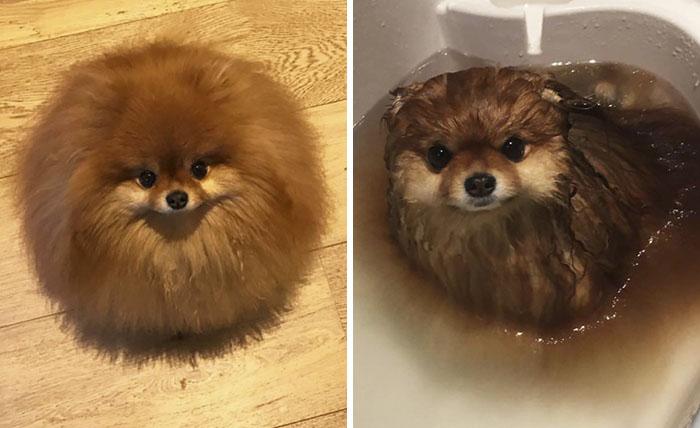 ¿Sabías que los perros pomeranios se derriten en el agua? Este dueño lo descubrió demasiado tarde