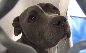 Heartbroken Pit Bull Cries After His Family Leaves Him In A Shelter