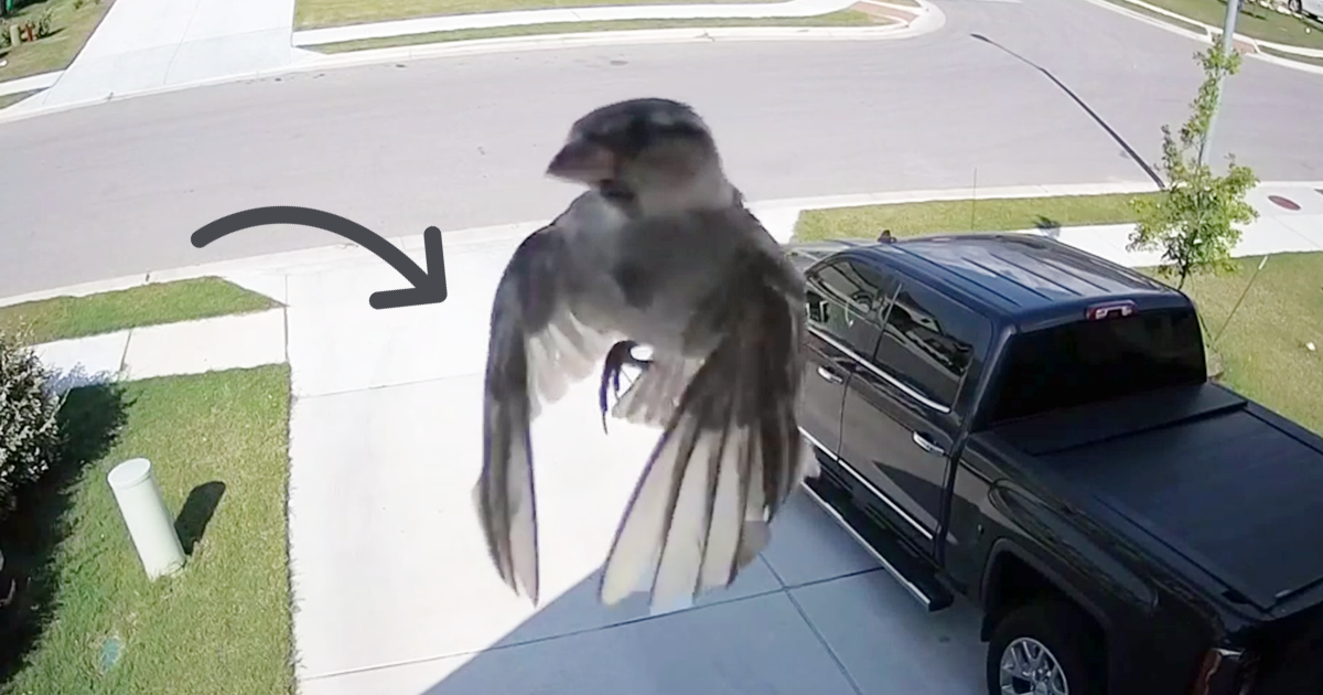 Birds Wings Get Perfectly Synced With Cameras Frame Rate And It - Syncing a videos frame rate with a birds wings does something amazing