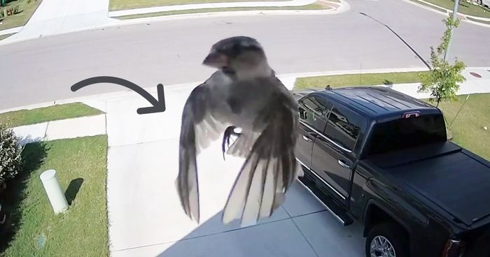 Bird S Wings Get Perfectly Synced With Camera S Frame Rate