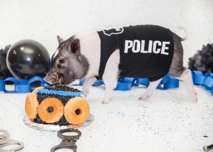 Meet Hercules, Our 6-Month-Old Pig Who Will Change The Way You Think About Pig Policemen