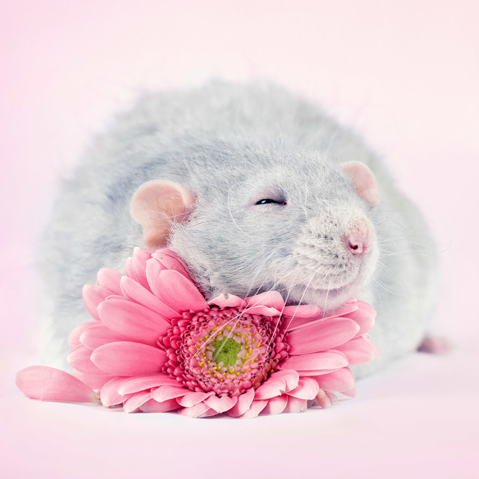 He pasado años fotografiando ratas para romper su imagen negativa retratándolas de forma adorable