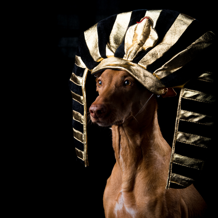 I Found A Way To Honor My Pharaoh Hound And The Joy He Gives Us Through Images Will Make You Smile!