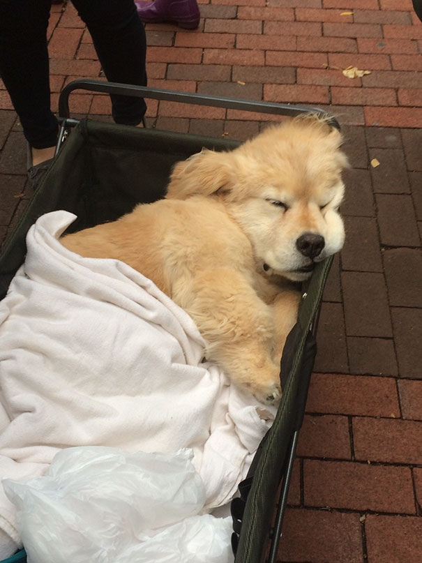 My School Always Brings A Bunch Of Therapy Dogs On Campus During Midterms To Cheer People Up And Look At This Lil Guy That Was On The Diag Today
