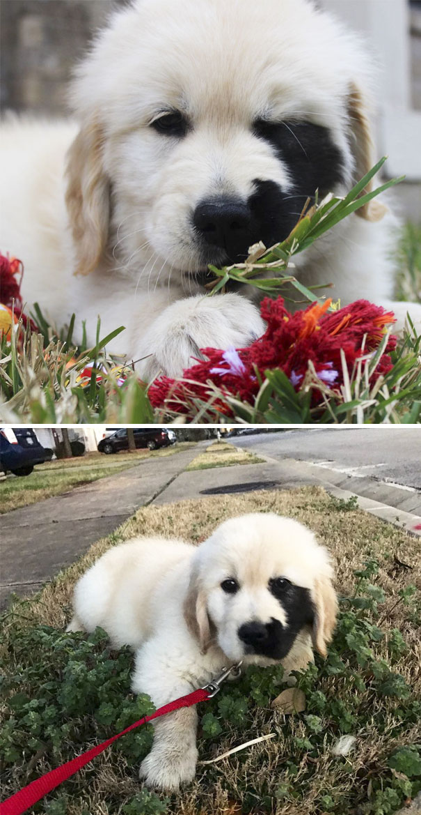 210 Times Golden Retriever Puppies Were The Purest Thing In