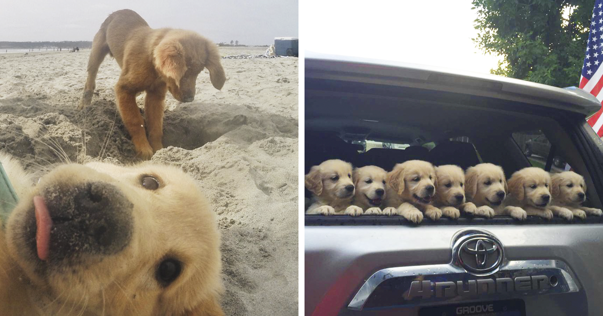 10+ Times Golden Retriever Puppies Were The Purest Thing ...