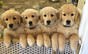 10+ Times Golden Retriever Puppies Were The Purest Thing In The World