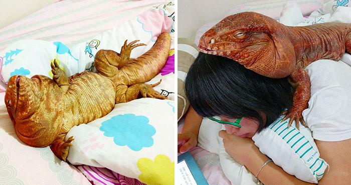 Este lagarto del tamaño de un perro es la última sensación entre las mascotas de Instagram, sus fotos te alegrarán el día