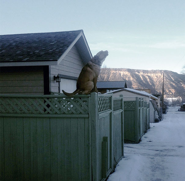 My Neighbor's Dog. Proving To All Cats, Dogs Can Sit On Fences Too