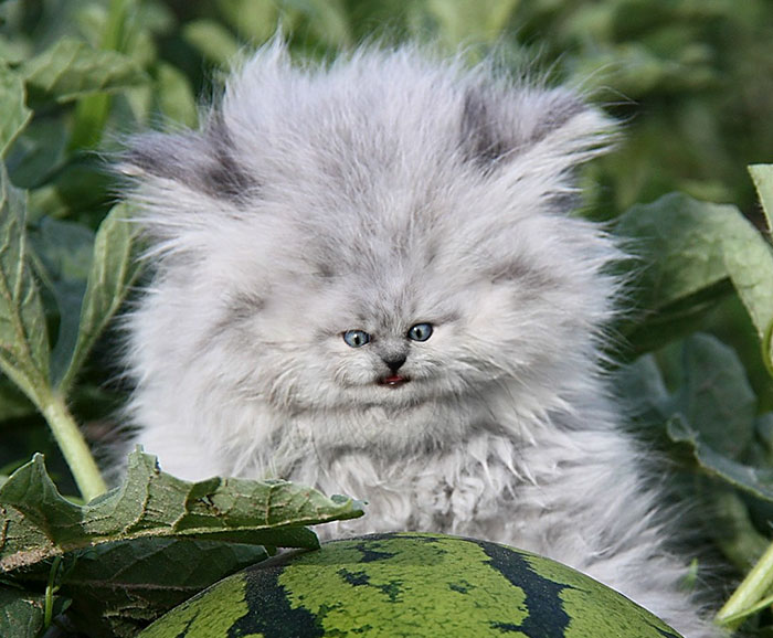 People Are 'Breeding' Cats With Tiny Faces, And We Can't Decide Whether They're Cute Or Scary (Add Yours)