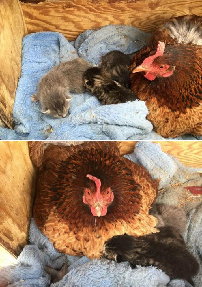 Hen Adopts Litter Of Kittens For Mother's Day