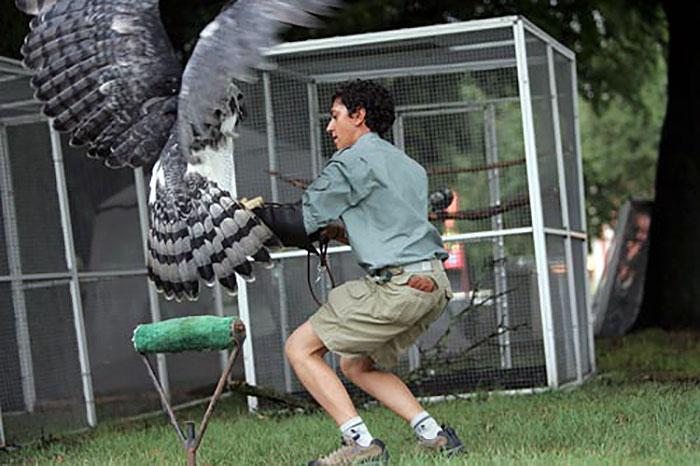 Harpy eagle hunting monkey - photo#52
