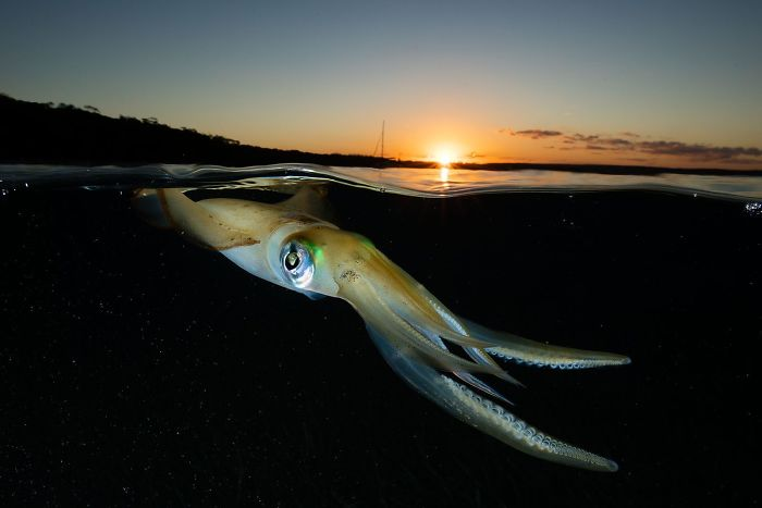 Southern Calamari Squid Sunset