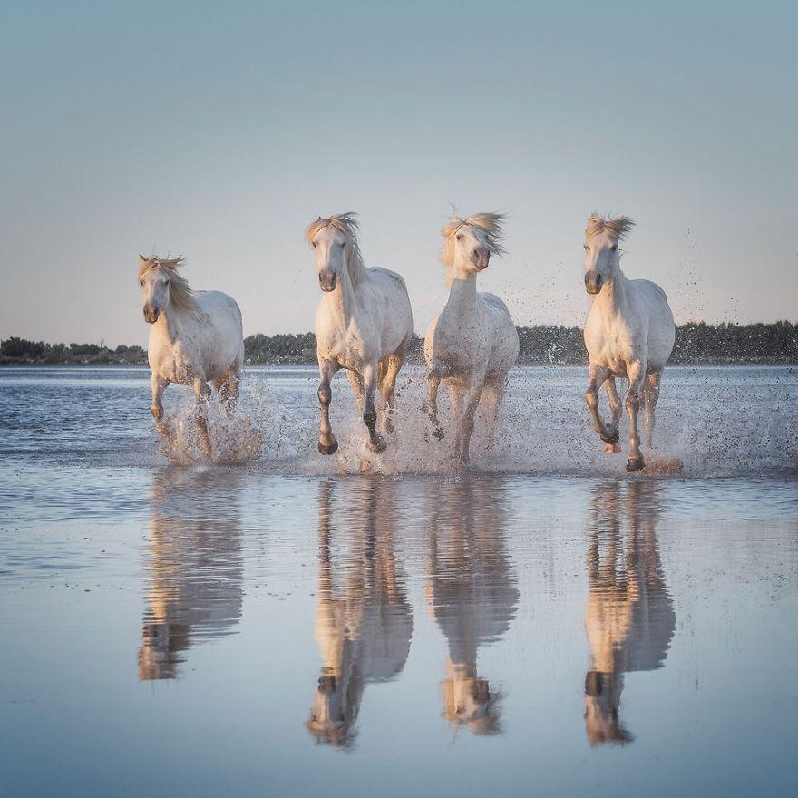 White Horses Of Camargue