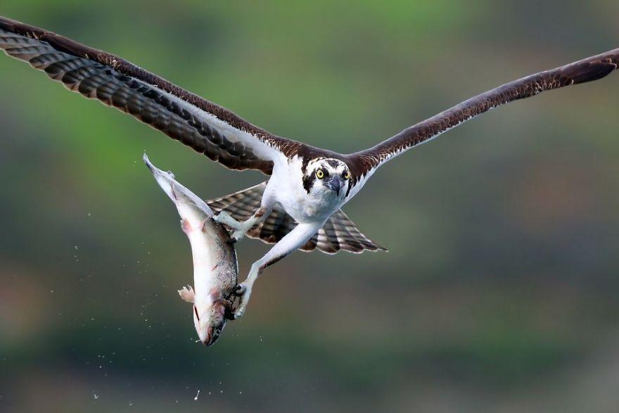 Osprey Verses Trout