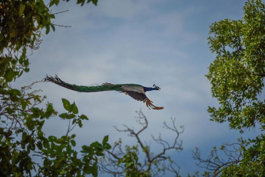 Peafowl In Flight