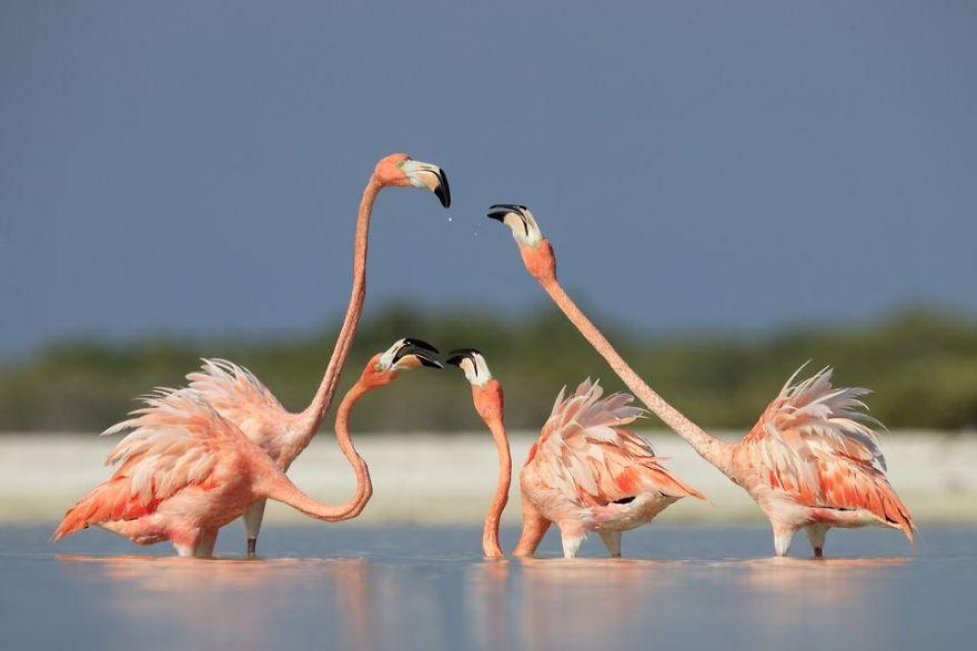Four Fighting Flamingos