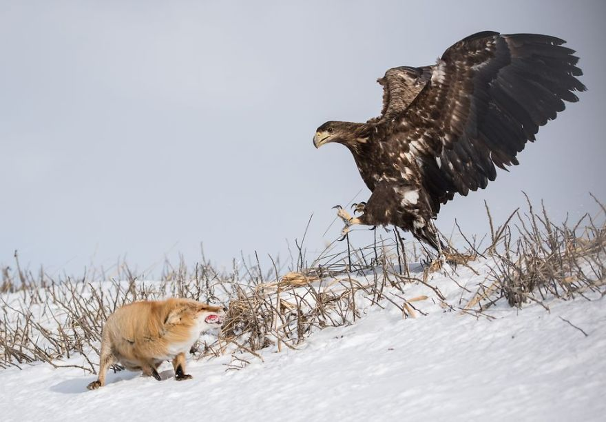 Red Fox Vs White-Tailed Eagle