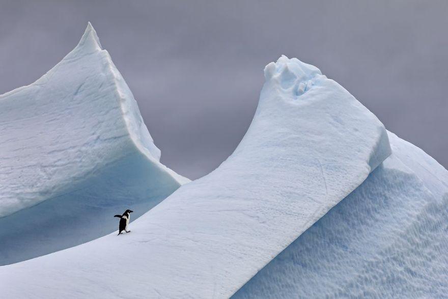 Adelie Penguin On Steep Iceberg