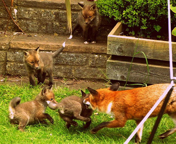 Woke Up To See These, A Fox And His Cubs Playing In My Garden
